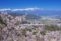 長野県 タカトオコヒガンザクラ咲く高遠城址公園と中央アルプス