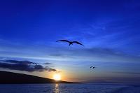 エクアドル 夕暮れの空を羽ばたくグンカンドリ