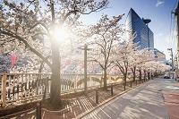 東京都 目黒川沿いの桜