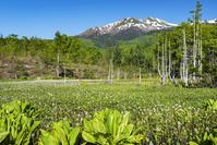 長野県 ミツガシワ咲くどじょう池と乗鞍岳