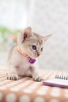 シンガプーラの子猫