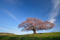 岩手県 宮古市 牧草地に立つ亀ヶ森の一本桜