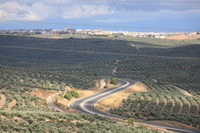 スペイン アンダルシア地方 オリーブ農園
