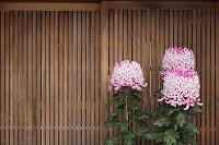 京都府 町家の軒先に咲く菊の花