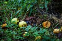 イングランド サリー 落ちたリンゴ