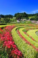 奈良県 ヒガンバナと棚田