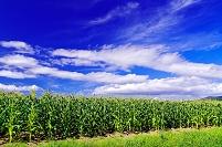 北海道 とうもろこし畑
