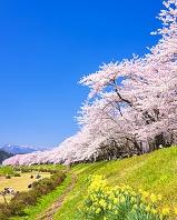 秋田県 桜と桧木内川