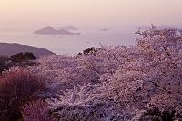 香川県 紫雲出山の桜
