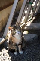 山口県 薄い色の三毛猫