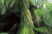 鹿児島県 屋久島の三代杉