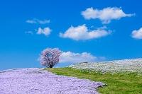 広島県 芝桜と丘の上の桜