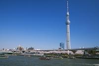 東京都 桜咲く隅田川と屋形船と東京スカイツリー