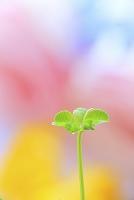五つ葉のクローバーの若葉