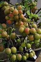 大阪府 和泉市 黒姫リンゴ盆栽
