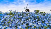 大阪府 鶴見緑地公園 風車の丘とネモフィラ