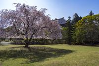 奈良県 奈良公園 おかっぱ桜