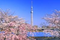 東京都 桜の咲く隅田川