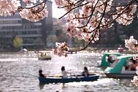 桜咲く不忍池でボート遊び