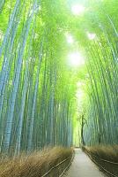 京都府 嵯峨野 朝の竹林の小径