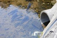 生活排水路で生きる鯉