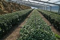静岡県 伊豆の国市 茶のハウス栽培