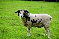 イギリス オックスフォードシャー 羊 ジャコブ