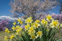 長野県 スイセンと桜と爺ヶ岳