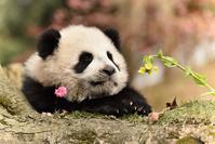 子パンダ 中国パンダ保護研究センター