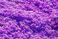北海道 滝上町 芝ざくら滝上公園の芝桜