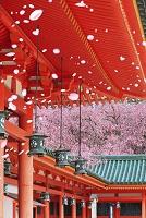 京都府 平安神宮 朱塗りの回廊とベニシダレザクラ