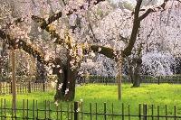 京都府 京都御苑 朝日差す近衛邸跡の枝垂れ桜