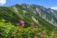 鳥取県 ユートピアのシモツケソウと大山北壁