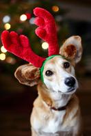 トナカイの仮装をする犬