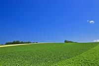 北海道 小清水町 ジャガイモ畑