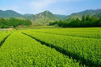 三重県 茶畑と鈴鹿山脈