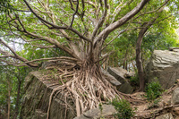熊本県 ラピュタの木