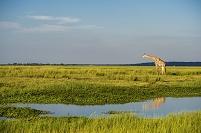ボツワナ チョベ国立公園 キリン