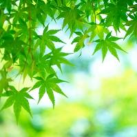 モミジ (新緑)