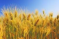 大麦畑と青空