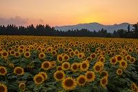 新潟県 津南のひまわり畑