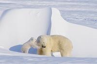 アラスカ ホッキョクグマ