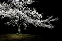 美しく輝く桜