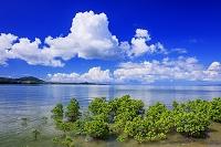 沖縄県 名蔵湾のマングローブ(ヤエヤマヒルギ)と入道雲 石垣島