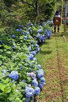 兵庫県 能勢妙見の森リフトとあじさいの花