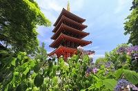 東京都 高幡不動尊の五重塔とアジサイ