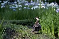 小石川後楽園 カルガモと菖蒲