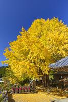 和歌山県 光泉寺の子授けイチョウ