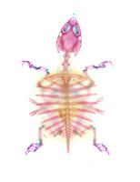 スッポン 透明骨格標本