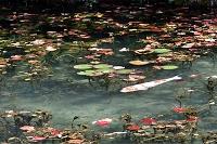 岐阜県 根道神社モネの池